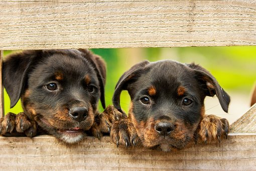 Rottweiler, Puppy, Dog, Dogs, Cute